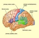 cortex picture
